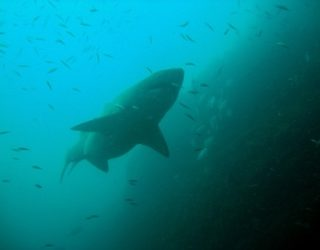 webpage shot shark